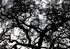 Valley Oak Neural